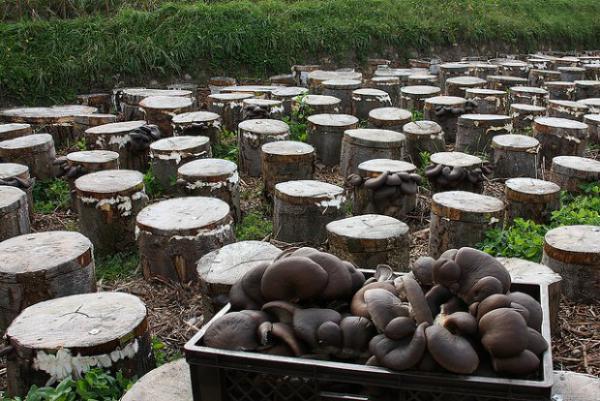 Αποτέλεσμα εικόνας για μανιταρια καλλιεργεια