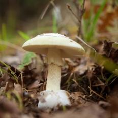 Αμανίτης ο φαλλοειδής - Amanita phalloides
