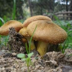 Αρμιλλάρια η μαρανόμενη - Armillaria tabescens
