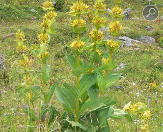 γετνιανή η κίτρινη (Gentiana lutea)