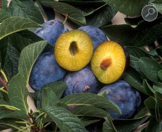 Δαμασκηνιά (Prunus domestica)