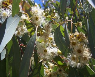 Ευκάλυπτος (Eucalyptus globulus)