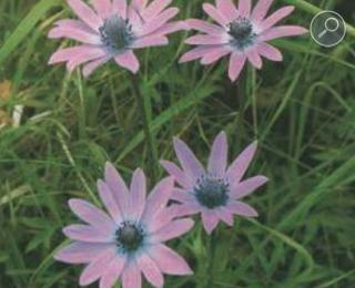 Anemone hortensis L
