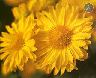 Χρυσανθεμο (Chrysanthemum morifolium)
