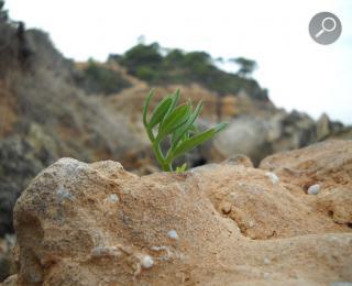 Το κρίταμο μέσα από βράχο