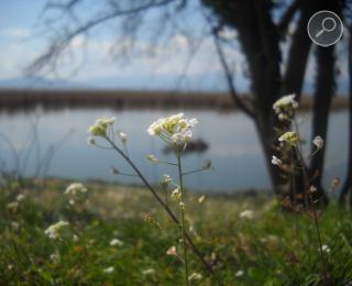 καρδαμούρες στη λίμνη των Ιωαννίνων