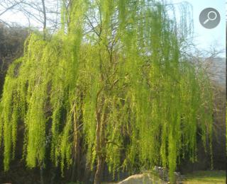 Ιτιά (Salix alba)