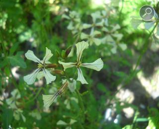 Η άγρια ρόκα (Eruca sativa)