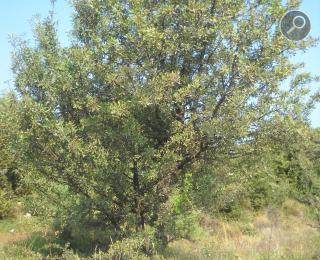 Γκορτσιά (Pyrus spinosa)