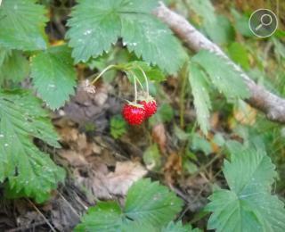 Άγρια φράουλα (Fragaria vesca)