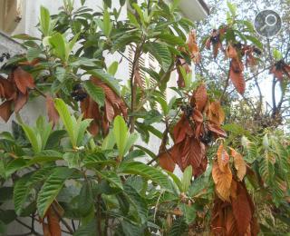 Eriobotrya japonica - Μουσμουλιά