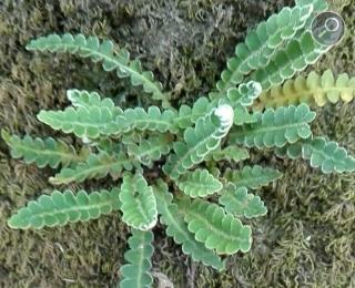 Asplenium ceterach L