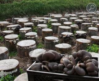 καλλιέργεια μανιταριών πλευρώτους σε κορμούς