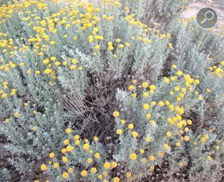 Λεβαντίνη (Santolina chamaecyparissus)