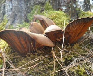 Ταπινίσκη η πανοειδής -  Tapinella panuoides
