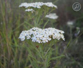 Αχίλλεια (Achillea Millefolium)