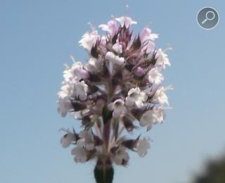 Θρούμπι - τα άνθη την άνοιξη