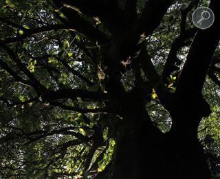 Αριά (Quercus smilax)