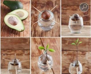Η Διαδικασία φυτέματος αβοκάντο στο σπίτι