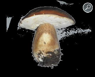 Βωλίτης ο Χάλκειος - Boletus aereus