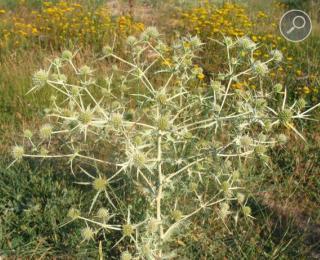 Ηρύγγιο το πεδινό - Eryngium campestre