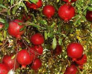 Ροδιά - Punica granatum