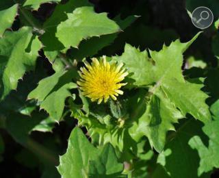 Ζοχός (Sonchus oleraceus)