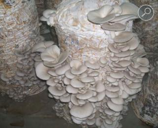 Καλλιέργεια μανιταριών πλευρώτους σε άχυρο