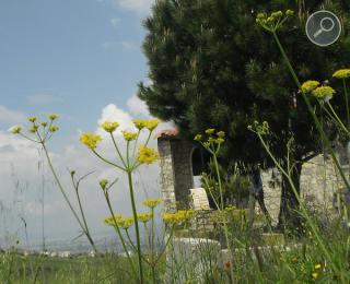 Παστινάκα - Pastinaca sativa