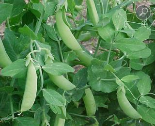 Αρακάς ή Μπιζέλι ή πίσον ( Pisum sativum)