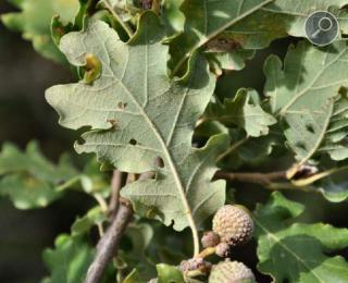 Δρυς χνοώδης (Quercus pubescens L)