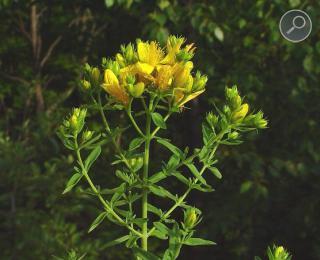 Σπαθόχορτο - Hypericum perforatum