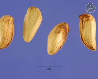 Σπόροι Ροδιάς