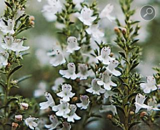 Thymus vulgaris Θυμάρι
