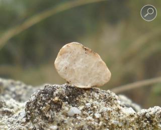 Μια νεαρή τρούφα borchii σε τομή
