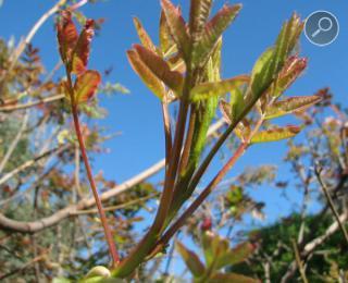 νερά φύλλα αγριοφυστικιάς