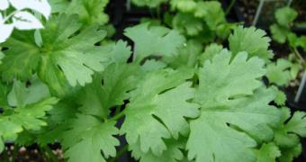 Κόλιανδρος (Coriandrum sativum) - Το φύλλο