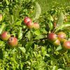 άγρια μήλα