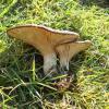 Πλευρώτους του ερυγγίου (Pleurotus eryngii)