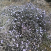 Γλοβουλάρια η Άλυπη - Globularia Alypum