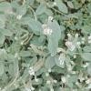 Heliotropium_europaeum