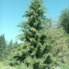 Picea excelsa