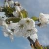 Άνθοι κερασιάς