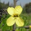 Το άνθος του λάχανου τον Απρίλιο