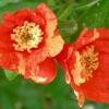 Άνθη Ροδιάς