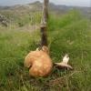 Αρτηκίτης ή Πλευρωτός της φέρουλας pleurotus eryngii var. ferulae)