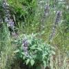 Φασκόμηλο (Salvia officinalis)