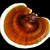 Γανόδερμα - Ganoderma lucidum