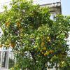 Citrus aurantium - Νερατζιά