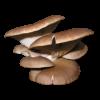 Πλευρότους οστρεώδης (Pleurotus ostreatus)
